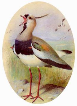 El tero (Vanellus chilensis)